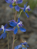 Anderson's Larkspur (Delphinium Andersonii)  Great Basin National Park  Great Basin Desert  Nevada