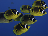 School of Raccoon Butterfly Fish (Chaetodon Lunula)  Hawaii  USA
