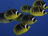 School of Raccoon Butterfly Fish (Chaetodon Lunula)  Hawaii  USA