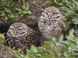 Burrowing Owl (Athene Cunicularia)  Cape Coral  Florida  USA