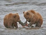 Brown Bear Cubs (Ursus Arctos) Eating Salmon Prey  Silver Salmon Creek  Lake Clark National Park