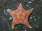 Leather Star (Dermasterias Imbricata)  Seward  Alaska  USA