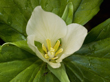 Giant Trillium (Trillium Chloropetalum) Is Native to California