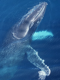 Humpback Whale at the Surface Showing its Head and Pectoral Fins (Megaptera Novaeangliae)