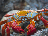 Sally Lightfoot Crab (Grapsus Grapsus)  Playa Las Bachas  Santa Cruz Island  Galapagos Islands