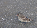 Medium Ground Finch (Geospiza Fortis)  Galapagos Islands  Ecuador