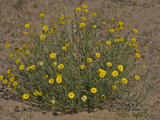Desert Marigold (Baileya Multiradiata)  Mojave Desert  Joshua Tree National Park  California  USA