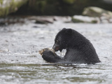 Black Bear (Ursus Americanus) Sitting in a Stream Eating a Salmon it Just Caught  British Columbia