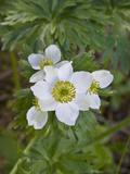 Narcissus Anemone (Anemone Narcissiflora)  Fort Abercrombie State Park  Kodiak  Alaska