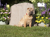 Shar Pei  3 Months Old  Sitting in a Yard  MR 2482