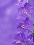 Bell Flowers  Blue Bell Variety