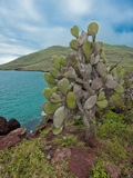 Endemic Prickly Pear Cactus (Opuntia Galapageia)  Galapagos Islands  Ecuador