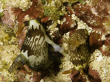 Mating Nudibranches (Nembrotha Lineolata)