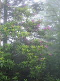 Flowering Catawba Rhododendron in the Fog  Andrews Bald  Great Smoky Mountains National Park