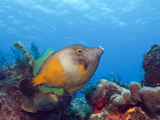 Whitespotted Filefish (Cantherhines Macrocerus)  Cozumel  Caribbean Sea  Mexico