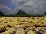 Corn Drying in the Mid-Day Sun  Yiling  Nanning  Guangxi  China