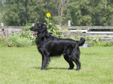 Flat-Coated Retriever Standing in a Yard  MR