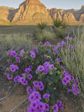 Four O'Clock (Mirabilis Multiflora) Blooming with Mojave Yucca (Yucca Schidigera)