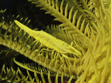 A Yellow Commensal Crinoid Shrimp (Periclimenes Amboinensis)