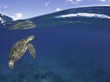 A Green Sea Turtle (Chelonia Mydas) Swims to the Surface for a Breathe  an Endangered Species