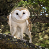 The Common Barn Owl (Tyto Alba) Is One of the Most Wide-Spread of All Land Birds  Captive