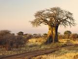 African Baobab Tree (Adansonia Digitata) at Sunset  Tarangire National Park  Tanzania  Africa