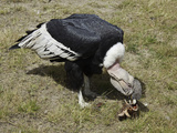 An Andean Condor (Vultur Gryphus) Dining on a Bone at Parque Condor