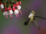 Female Ruby Throated Hummingbird in Flight