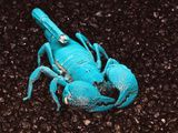 Emperor Scorpion Fluorescing  under Black Light (Pandinus Imperator)  Africa