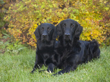 Flat-Coated Retrievers Sitting in a Yard  MR