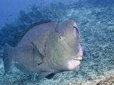 Cleaner Wrasse (Labroides Dimidiatus) Inspecting Humphead Parrotfish  (Bolbometopon Muricatum)