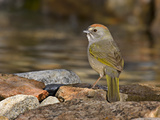Green-Tailed Towhee (Pipilo Chlorurus) at Edge of Pond