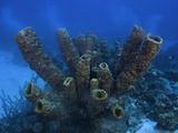 Yellow Tube Sponges Spawning (Aplysina Fistularis)  Bonaire  Caribbean