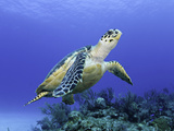 Hawksbill Sea Turtle (Eretmochelys Imbricata) Bahamas