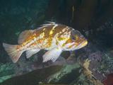 Copper Rockfish (Sebastes Caurinus)  Point Lobos State Park  Monterey County  California  USA