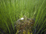 A Single Cottongrass Bloom Grows Out of a Nurse Log Surrounded by Horsetail Reeds