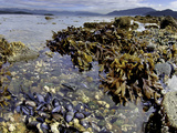Kelp  Mussels and Barnacles are Visible at Low Tide in Howe Sound  British Columbia  Canada