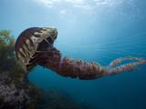 Black Sea Nettle (Chrysaora Achlyos)  Los Coronados Islands  Baja California  Mexico