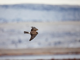 Northern Harrier in Flight  Circus Cyaneus  Klamath Basin  Klamath Falls  Oregon