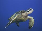 Green Sea Turtle Swimming (Chelonia Mydas)  an Endangered Species  Hawaii  USA
