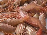 Spot Prawn (Pandalus Platyceros) Catch in a Trap  Prince Rupert  British Columbia  Pacific Ocean