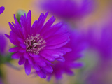 Aster Flower in Autumn  New Hampshire