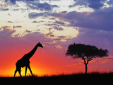 Masai Giraffe and an Umbrella Tree Acacia Silhouetted on the Savanna at Sunrise