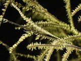 Needle Shrimp (Tozeuma Armatum) Campouflaged on a Gorgonian  Hippolytidae  Indonesia