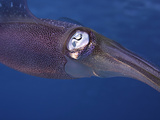Close Up of the Head and Eye of the Caribbean Reef Squid (Sepioteuthis Sepioidea)