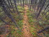 Game Trail Leads Through Dense Stand of Larch Trees in the Siberian