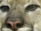 Close-Up of a Puma Nose (Felis Concolor)