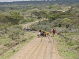 Masai Tribesmen Herding Cattle Along Dirt Road  Tanzania  Africa