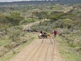 Masai Tribesmen Herding Cattle Along Dirt Road  Tanzania  Africa
