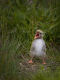 A Newborn Arctic Tern (Sterna Paradisaea) Calling and Waiting for a Parent to Return with Food